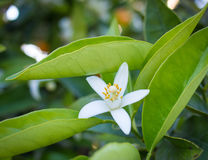 Valencian orange and orange blossoms. Royalty Free Stock Images