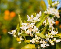 Valencian orange and orange blossoms. Royalty Free Stock Image