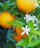 Valencian orange and orange blossoms. Royalty Free Stock Photo