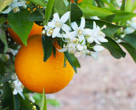 Valencian orange and orange blossoms. Spain Stock Photo
