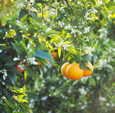 Valencian orange and orange blossoms. Royalty Free Stock Photography
