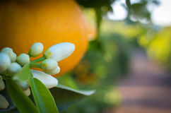 Valencian orange and orange blossoms. Stock Photo