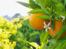 Valencian orange and orange blossoms. Stock Images