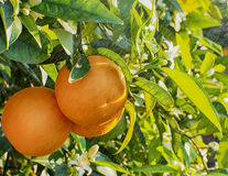 Valencian orange and orange blossoms. Royalty Free Stock Photos