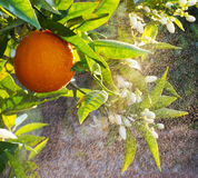 Valencian orange and orange blossoms. Stock Photos