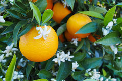 Valencian orange and orange blossoms. Spring. Spain Stock Photography