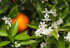 Valencian orange and orange blossoms. Spring. Spain. Valencian orange and orange blossoms. Spring. Valencia. Spain Royalty Free Stock Images