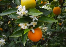 Valencian orange and orange blossoms. Spring. Spain. Valencian orange and orange blossoms. Spring. Valencia. Spain Royalty Free Stock Photo