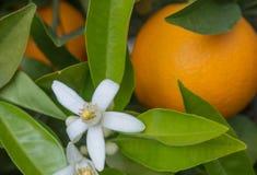 Valencian orange und orange Bl?ten spanien lizenzfreie stockfotos
