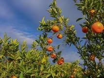Valencian orange und orange Bl?ten spanien lizenzfreies stockfoto