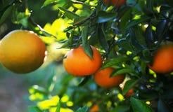 Valencian orange und orange Bl?ten spanien stockbild
