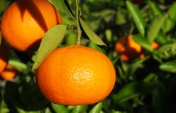 Valencian orange und orange Bl?ten spanien stockbild