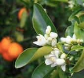 Valencian orange und orange Blüten lizenzfreie stockfotos