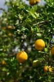 Valencias On Tree. Valencia oranges ripen in the southern Florida sunshine Stock Image
