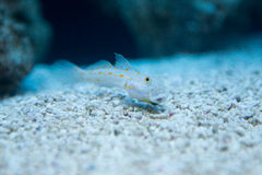 Valenciennea puellaris - Orange-spotted sleeper-goby Royalty Free Stock Images