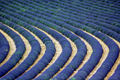 Valensole: fields of lavender Royalty Free Stock Photos