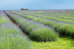 Valensole: fields of lavender Royalty Free Stock Images