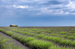 Valensole: fields of lavender Stock Photography