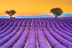 Valensole lavander i Provence, Frankrike royaltyfri fotografi