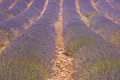 Valensole lavender Stock Image