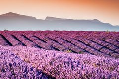 Valensole lavender in Provence, France stock image