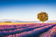 Valensole lavender in Provence, France royalty free stock photos