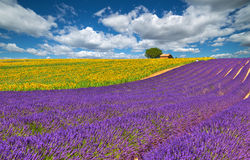 Valensole. Stock Photography