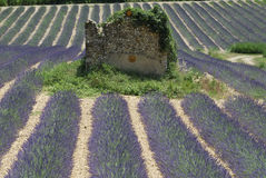 Valensole (Provence), field of lavender and ruins Royalty Free Stock Photos