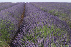 Valensole (Provence, France) - Field of lavender Stock Photography