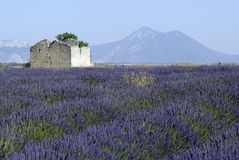 Valensole (Provence, France), field of lavender Royalty Free Stock Photography