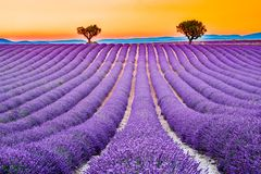 Valensole lavender in Provence, France stock photography