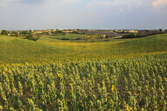 Valensole - Provence Royalty Free Stock Photography