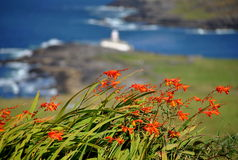 valentia της Ιρλανδίας λουλο&upsi Στοκ εικόνες με δικαίωμα ελεύθερης χρήσης