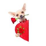 Valentijnskaartenhond Royalty-vrije Stock Foto