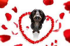 Valentijnskaartenhond in liefde royalty-vrije stock afbeelding