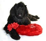 Valentin del st del amor del perro del newfounland del neuve de Terre romántico Foto de archivo libre de regalías