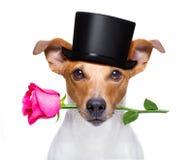 Valentin dog med en ros arkivfoto