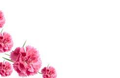 valentin för blommor för bakgrundskortnejlikor rosa Royaltyfria Foton