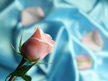 Valentin Pink Rose. A detal of a pink rose on blue satin fabric Stock Photography