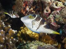 Free Valentin`s Sharpnose Puffer Royalty Free Stock Photography - 158370397