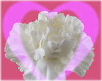Valentine. Carnation illustration stock photos