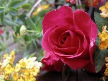 Valentine-achtergrond en nam toe Royalty-vrije Stock Afbeeldingen