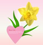 Valentine background with Narcissus flower Royalty Free Stock Photography