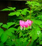 Valentine Bleeding Heart Stock Photos