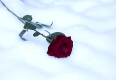 Valentine card with res rose in snow Stock Images