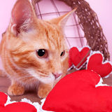 Valentine Cat Foto de Stock Royalty Free