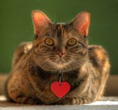 Valentine Cat. Adorable cat with heart pendant stock photography
