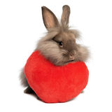 A valentine chocolate lionhead bunny rabbit with a red heart. A cute valentine chocolate colored lionhead bunny rabbit with a red hearth, on white background stock images