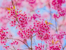 Valentine Day.Beautiful blooming pink flowers Royalty Free Stock Photos