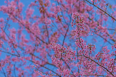 Valentine Day.Beautiful blooming pink flowers. Sakura Thailand.Valentine Day.Beautiful blooming pink flowers on a blue background Stock Photos